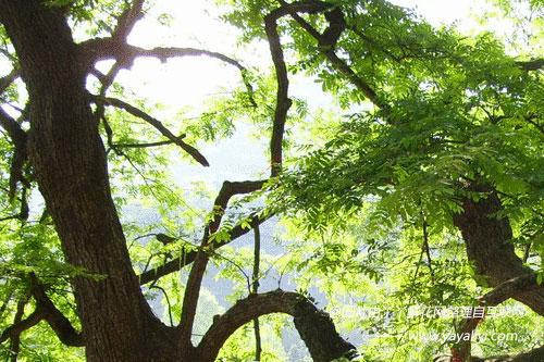 相思树的介绍