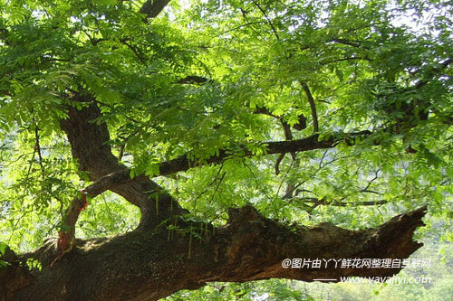 相思树的形态特征
