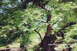 相思树的生态习性