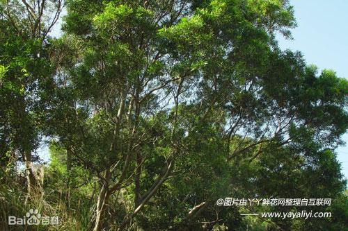 相思树的分布区域
