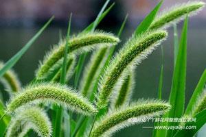 狗尾巴草的形态特征