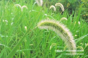 狗尾巴草的生态习性