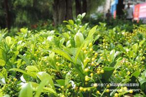 米兰花的栽培技术