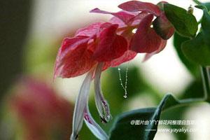 艳苞花的介绍