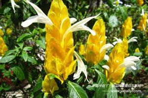艳苞花的形态特征