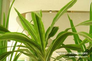 竹蕉的形态特征