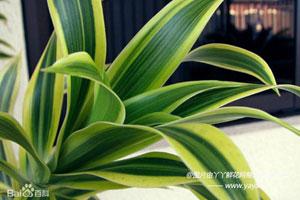 竹蕉的生长环境