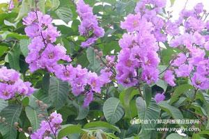 大花紫薇的病害防治