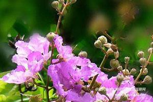 大花紫薇的作用用途