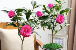 盆栽山茶花的栽培技术