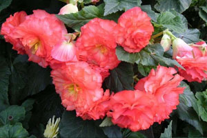 球根海棠的形态特征
