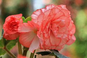 球根海棠的品种分类