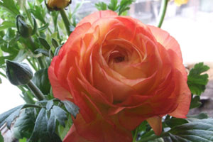 球根海棠的花语