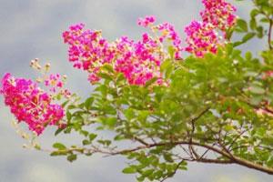 矮生紫薇的介绍