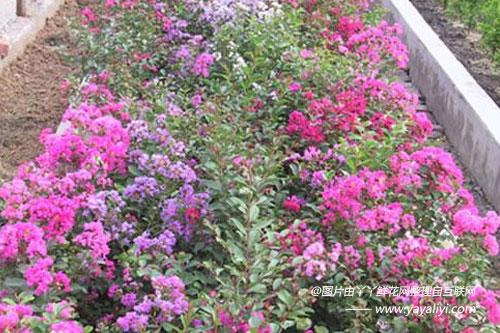 矮生紫薇的栽培技术