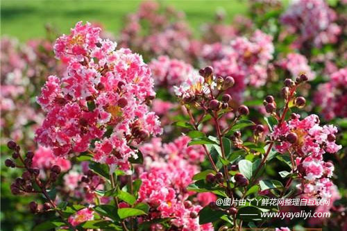 矮生紫薇的繁殖方法