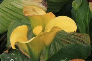 黄花马蹄莲的形态特征