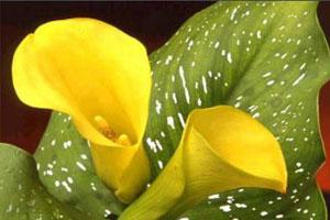 黄花马蹄莲的栽培技术