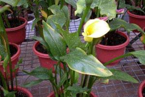 黄花马蹄莲的地理分布