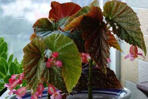 竹节海棠的病害防治