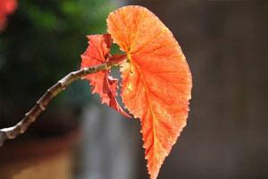竹节海棠的文化背景