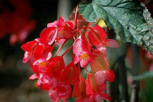 竹节海棠的花语