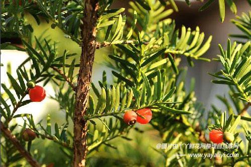 东北红豆杉的介绍