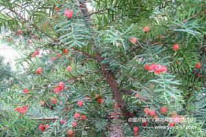 东北红豆杉的形态特征