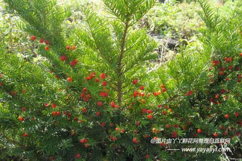 东北红豆杉的生长习性