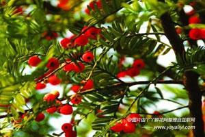 东北红豆杉的栽培技术