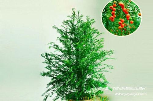 东北红豆杉的繁殖方法