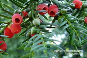 东北红豆杉的病虫防治