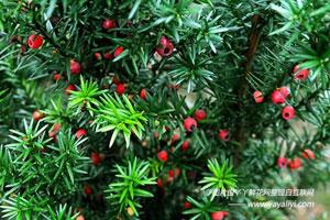 东北红豆杉的产地生境