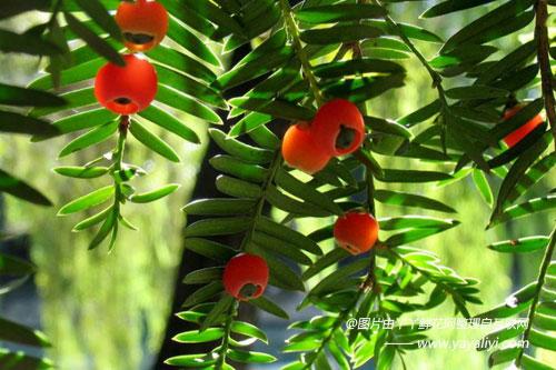 东北红豆杉的价值作用