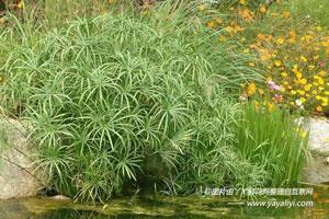 旱伞草的形态特征