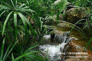 旱伞草的生长环境