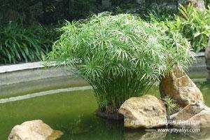 旱伞草的栽培技术