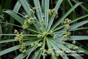 旱伞草的繁殖方法
