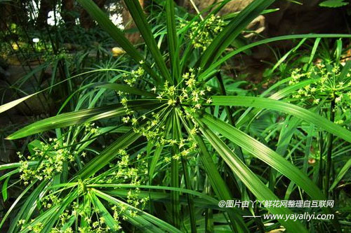 旱伞草的养护管理