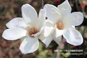 白玉兰的形态特征