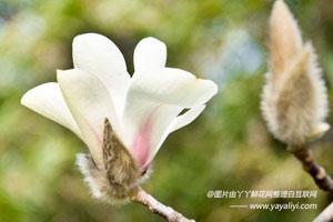 白玉兰的生长习性