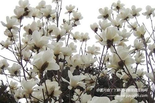 白玉兰的繁殖方式