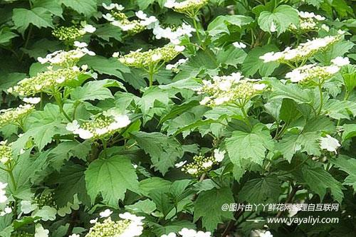 天目琼花的品种分类