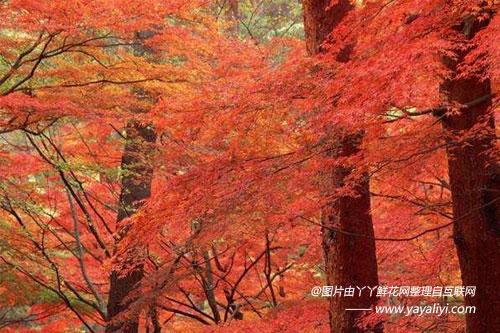 美国红枫的形态特征