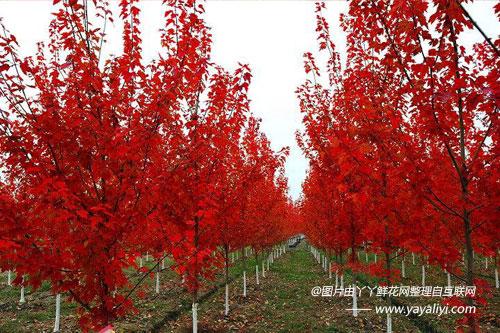 美国红枫的生长习性