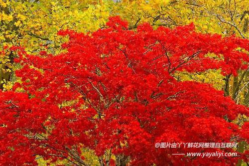 美国红枫的分布范围