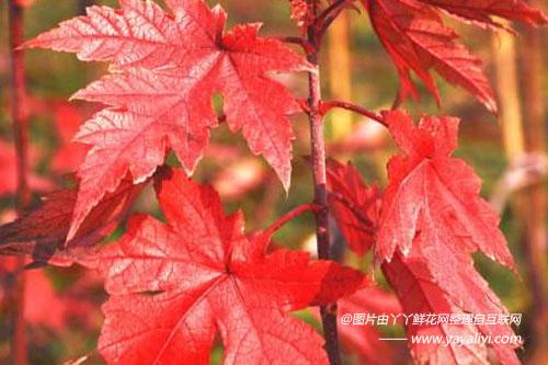 美国红枫的繁殖方法