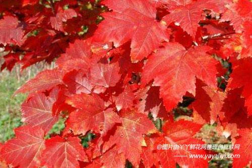 美国红枫的栽培技术