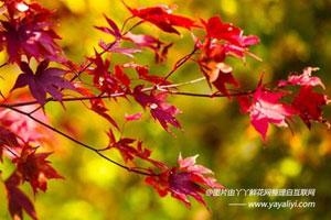 美国红枫的观赏价值