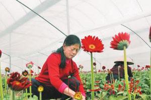 三明:春节将至鲜花走俏